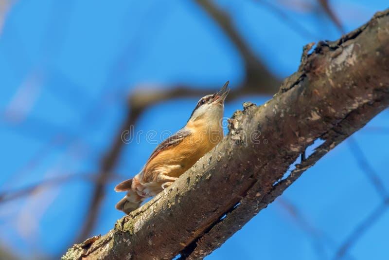 Eurasian Nuthatch, Little Songbird Sitta europaea Wood Nuthatch royaltyfri bild