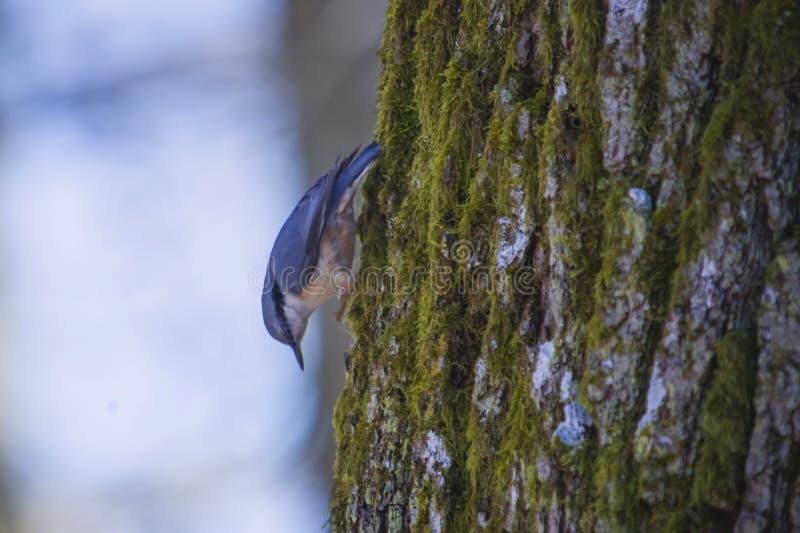 Eurasian nuthatch (sitta europaea), in norwegian: spettmeis stock image