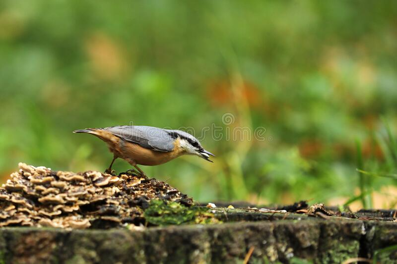 Eurasian nuthatch Sitta europaea on stump with mushrooms with sunflower seed royalty free stock photos