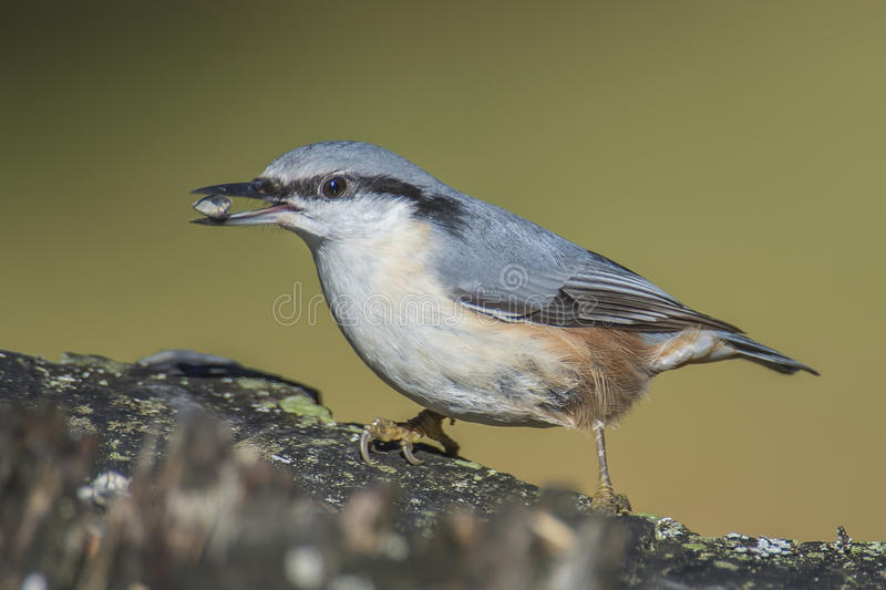 Eurasian nuthatch, (sitta europaea) at a tree stump royalty free stock photography
