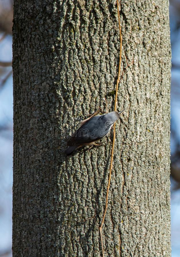 Eurasian nuthatch, wood nuthatch (Sitta europaea) sitting on tree trunk. Eurasian nuthatch, wood nuthatch (Sitta europaea) crawls on tree trunk, top view stock photo