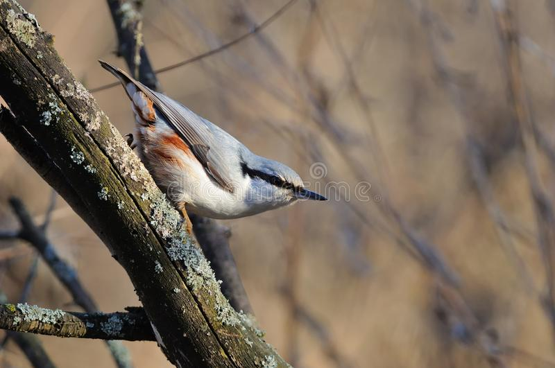 The Eurasian nuthatch in the rays of the rising sun sitting on the branch with brown background. The Eurasian nuthatch or wood nuthatch Sitta europaea in the royalty free stock photo