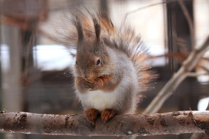 Download Eurasian red squirrel stock image. Image of wild, tail - 26133857
