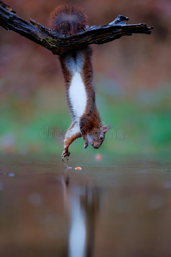 Free Eurasian Red Squirrel  Collecting Food In The Forest Stock Photos - 206030873