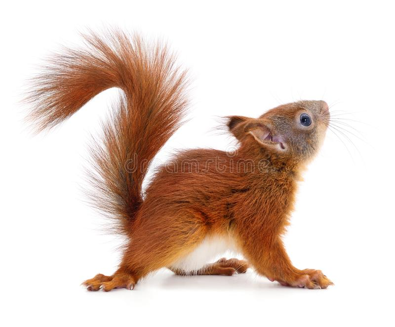 Eurasian red squirrel. royalty free stock image