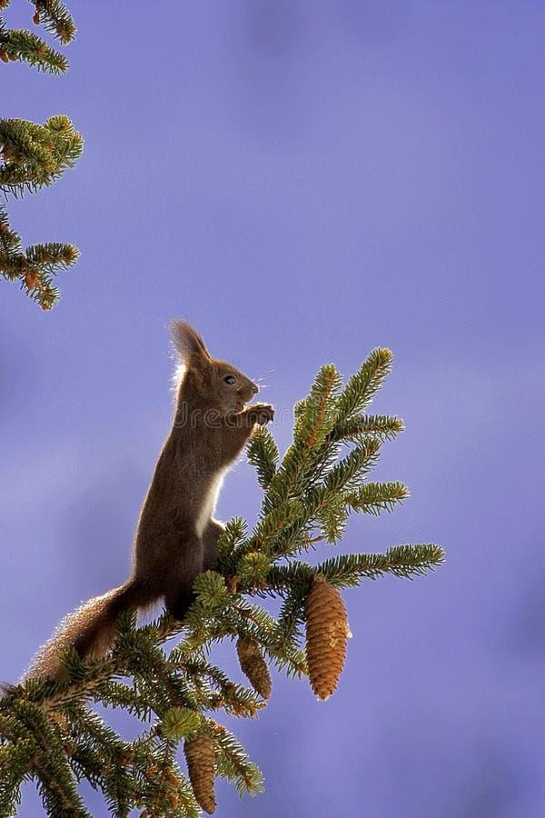 Free Eurasian Red Squirrel (Sciurus Vulgaris) Royalty Free Stock Image - 10026886