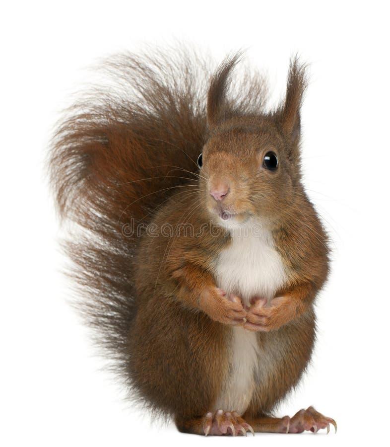 Free Eurasian Red Squirrel, Sciurus Vulgaris Royalty Free Stock Photo - 18258185