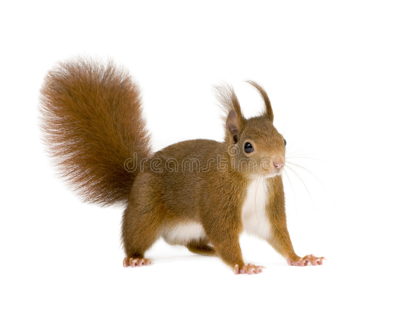 Eurasian red squirrel - Sciurus vulgaris (2 years) royalty free stock image