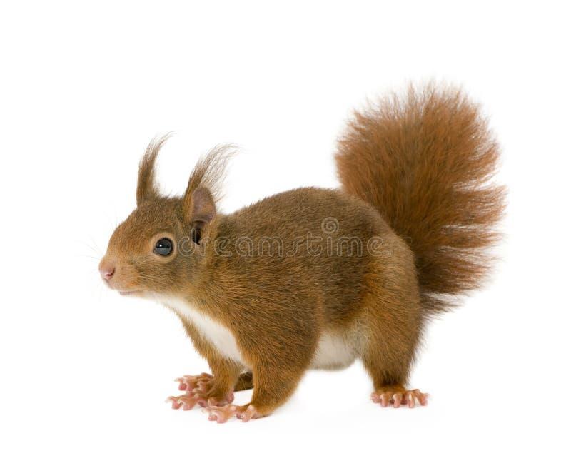 Eurasian red squirrel - Sciurus vulgaris (2 years) stock photos