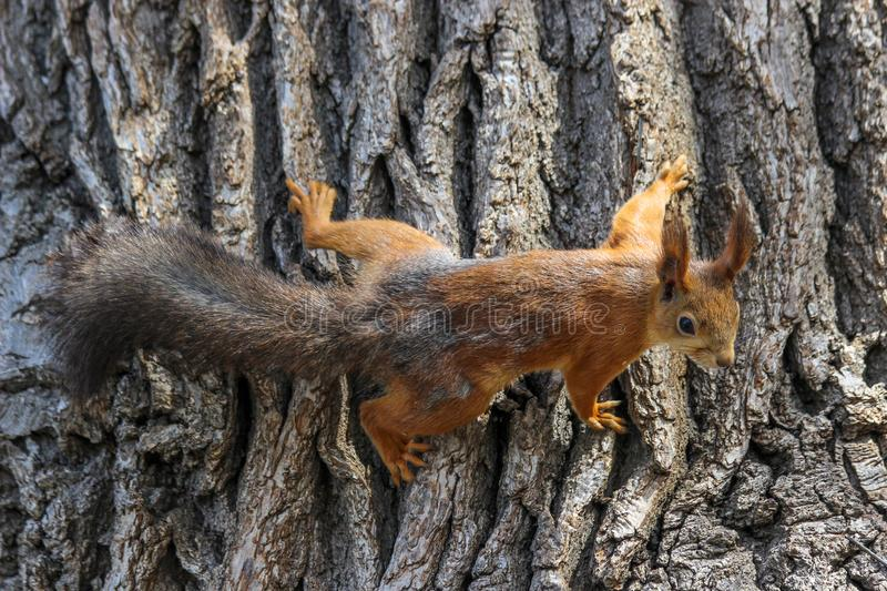 An Eurasian red squirrel Sciurus vulgaris in the final stage of seasonal shedding stock photo