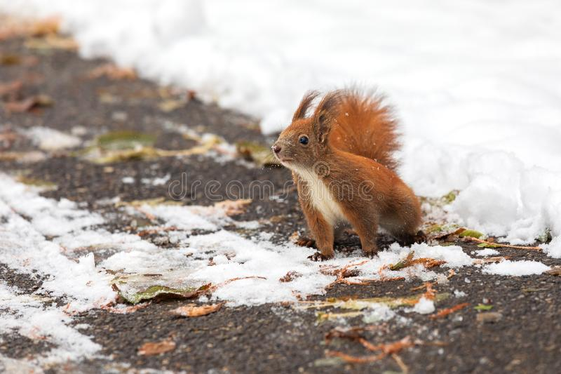 Eurasian red squirrel Sciurus vulgaris on ground looking for seeds and food in snow. In winter season is difficult for squirrels royalty free stock photo