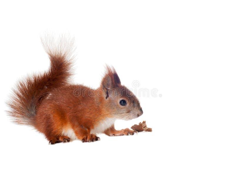 Eurasian red squirrel - Sciurus vulgaris isolated. White background royalty free stock image