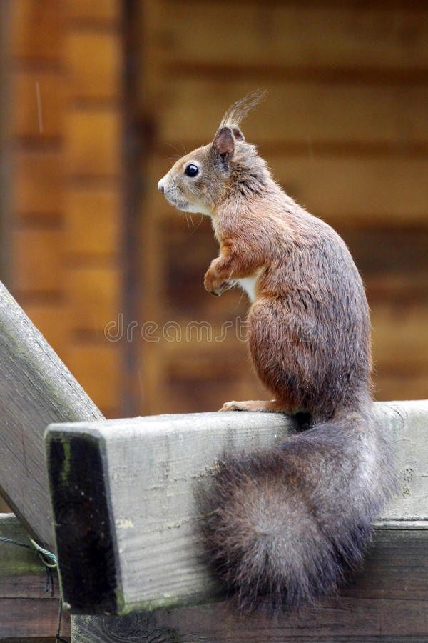 Download Eurasian Red Squirrel / Sciurus Vulgaris On The Outlook Stock Photo - Image: 32002580