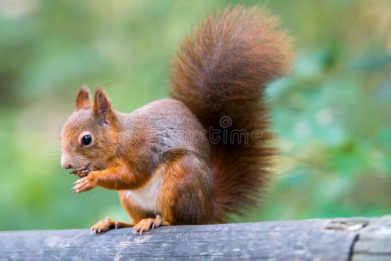 An Eurasian Red Squirrels sitting on a wooden post eating a nut royalty free stock photo