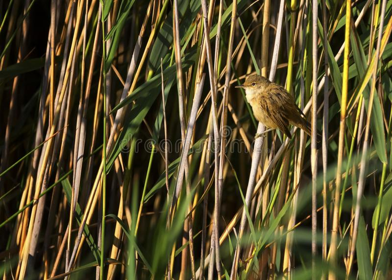 Eurasian reed warbler, acrocephalus scirpaceus. In the reed bed royalty free stock photo