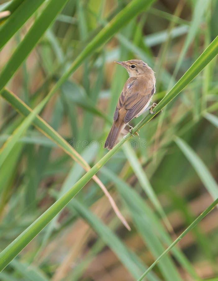 Download Eurasian Reed Warbler Appollaiato Sulla Pianta A Lamella Fotografia Stock - Immagine di piccolo, vecchio: 56890258