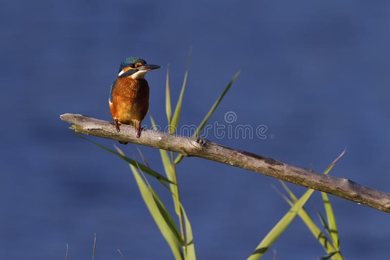 Eurasian, river or common kingfisher, alcedo atthis, Neuchatel, Switzerland. Eurasian, river or common kingfisher, alcedo atthis perched on a branch by day stock images