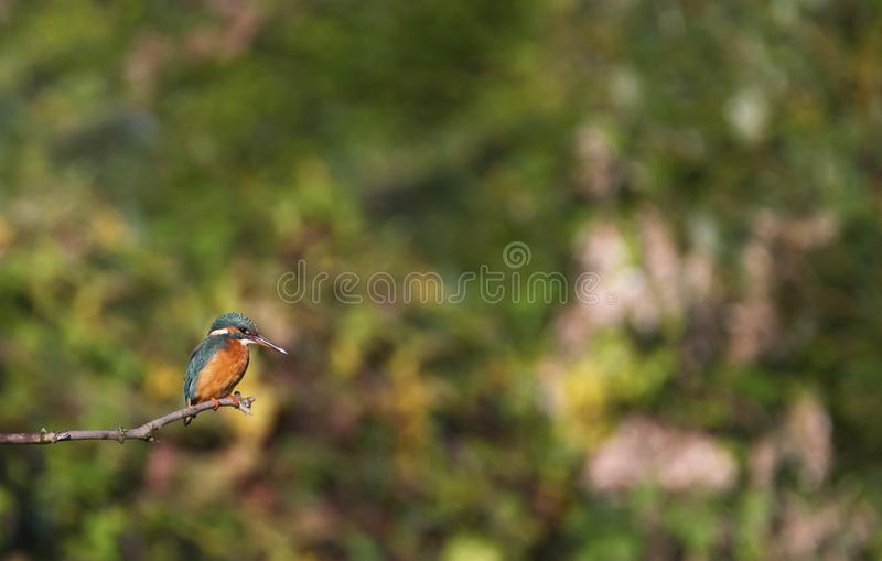 Eurasian, river or common kingfisher, alcedo atthis, Neuchatel, Switzerland. Eurasian, river or common kingfisher, alcedo atthis perched on a branch by day royalty free stock images