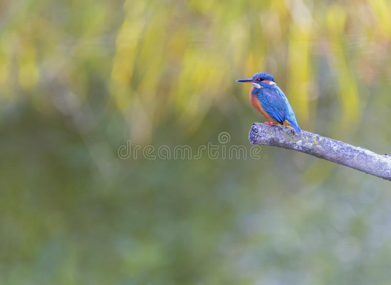 Eurasian, river or common kingfisher, alcedo atthis, Neuchatel, Switzerland. Eurasian, river or common kingfisher, alcedo atthis perched on a branch by day stock image