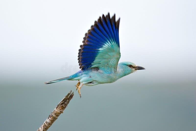 Eurasian Roller. Taking flight; coracias garrulus; South Africa