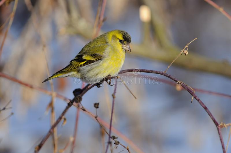 Eurasian siskin Spinus spinus in the rays of the rising sun. Eurasian siskin Spinus spinus in the rays of the rising sun sitting on the branch with green-blue royalty free stock photos