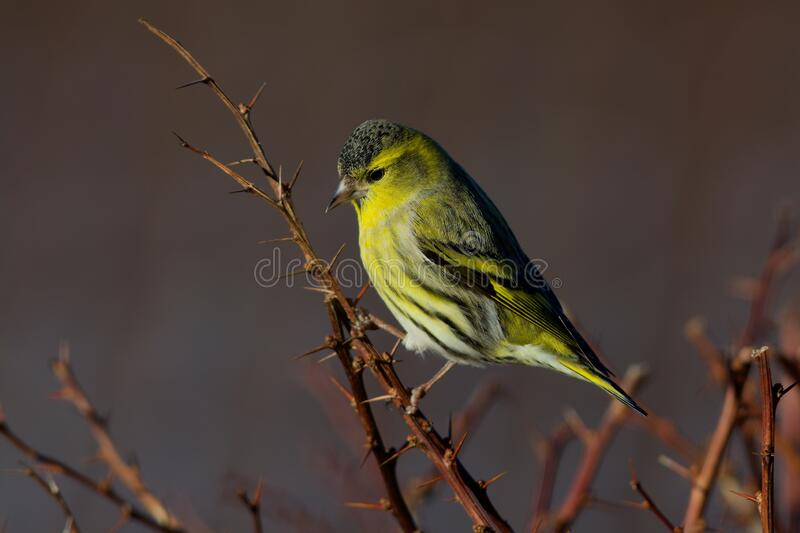 Eurasian siskin on the west coast in Sweden royalty free stock images