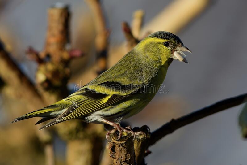 Eurasian siskin on the west coast in Sweden royalty free stock image