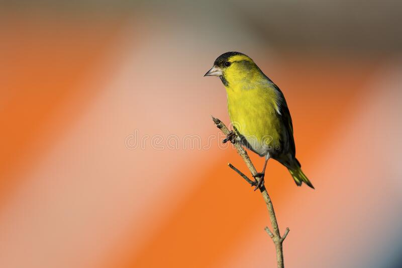 Eurasian siskin on the west coast in Sweden royalty free stock photography