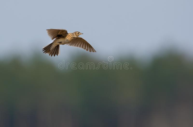 Eurasian skylark in flight over the wood with beating wings and sings fervently his song royalty free stock image