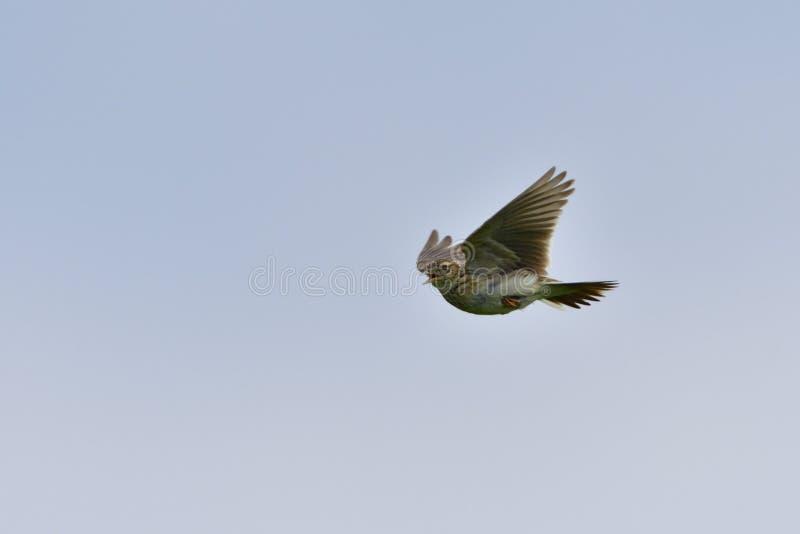 Eurasian skylark in flight stock image