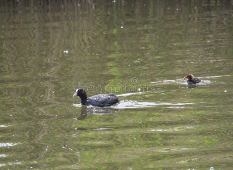 Eurasian sothönaFulicaatra, också som är bekant som den gemensamma sothönan med en nyfödd fågelunge som simmar i vattnet av det g royaltyfri foto