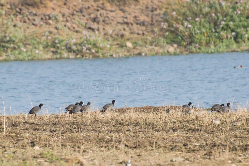 Eurasian sothönor som flyttar sig in i vatten arkivfoto