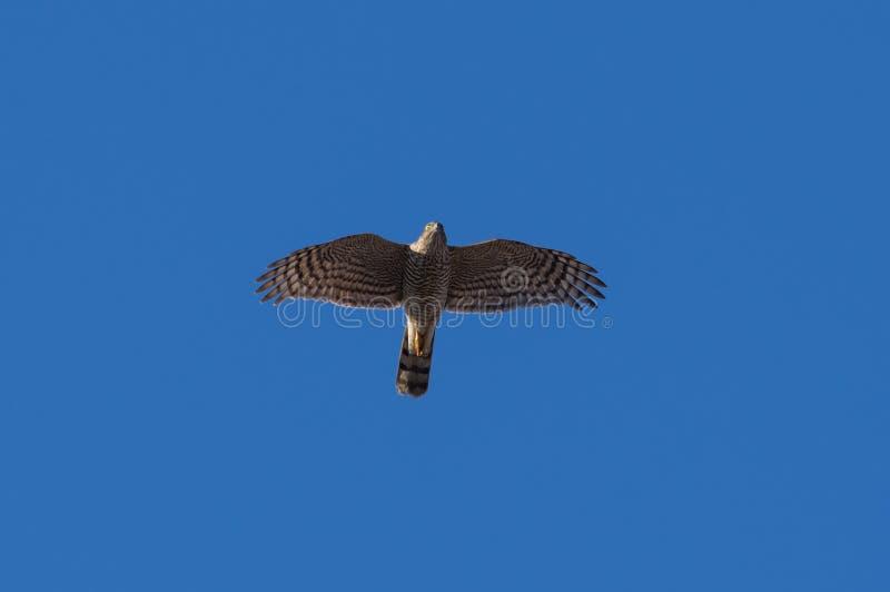 Eurasian Sparrowhawk imagens de stock royalty free