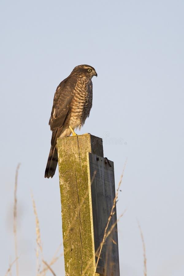Download Eurasian Sparrowhawk stock photo. Image of juvenile, prey - 35891230