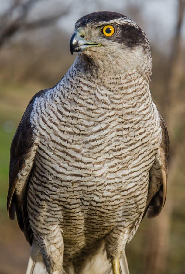 Eurasian Sparrowhawk - Bird of Prey royalty free stock photos