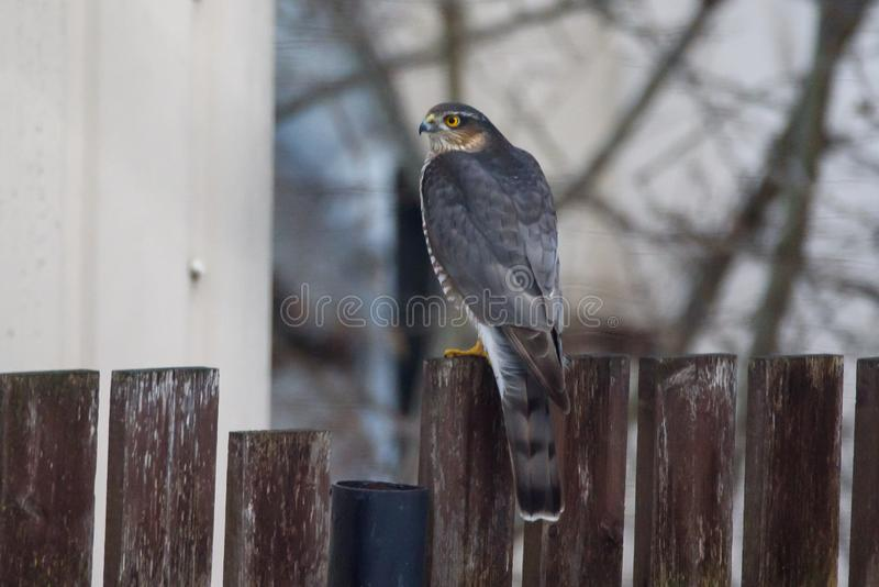 Eurasian sparrowhawk male bird Accipiter nisus royalty free stock photography