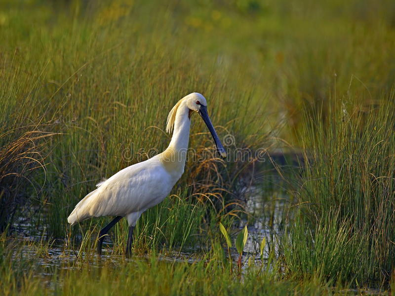 Eurasian spoonbill 2. royalty free stock images