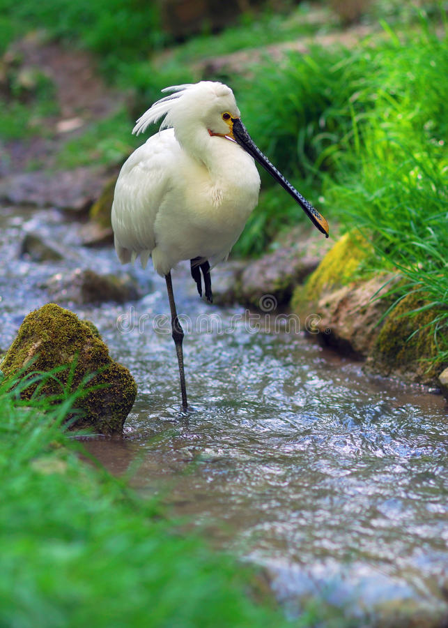 Eurasian Spoonbill. Standing in a small stream stock photo