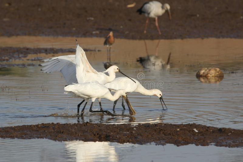 Eurasian spoonbill. Bird family searching for food in the water of river. natural view royalty free stock photography