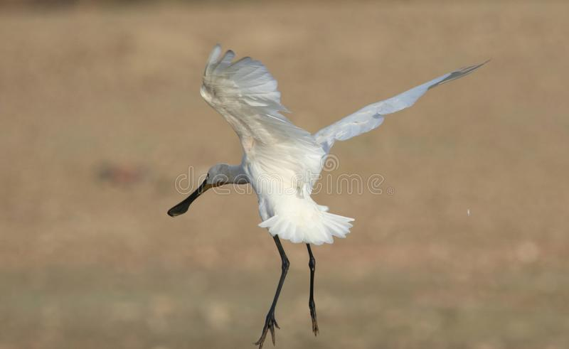 Eurasian spoonbill. Bird are in the preparation of landing on the ground. the shape of the bird, the artistic look. very natural view royalty free stock images