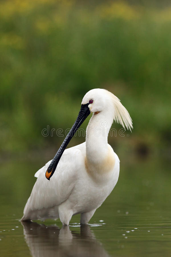 Eurasian spoonbill. Or common spoonbill Platalea leucorodia standing in pond on a green background royalty free stock photos