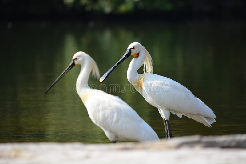 Eurasian Spoonbill or Common Spoonbill stock photography