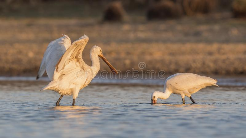 Eurasian Spoonbill Flapping Wings While Feeding in Lake stock photography