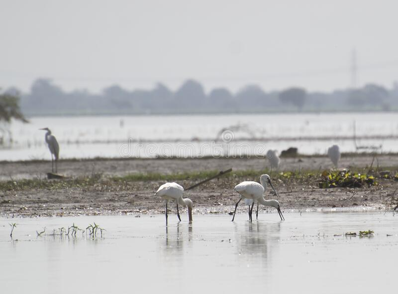 Eurasian Spoonbill Foraging in the Wetland of Central India. Indore, Madhya Pradesh royalty free stock photography