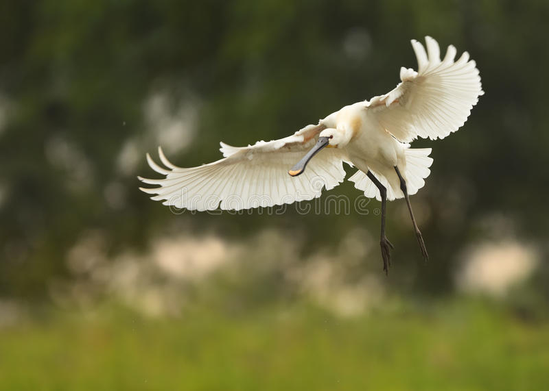 Eurasian Spoonbill,Platalea leucorodia, white bird flying with outstretched wings. stock photos