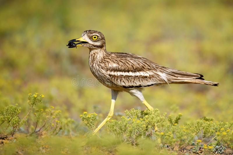 Eurasian stone curlew with prey on a beautiful background stock photo