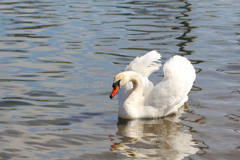White Mute Swan on a Lake. Eurasian swan, having white plumage and an orange-red bill with a black knob at the base royalty free stock images