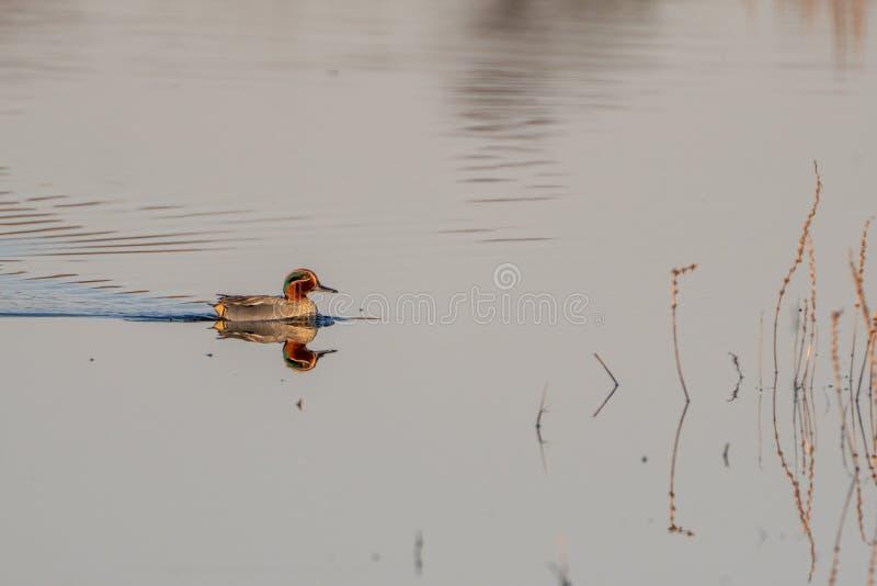 Eurasian Teal & x28;Anas crecca& x29; in the UK. Bird, birds, nature, park, parks, united, kingdom, waterfowl, anatidae, animal, animals, avian, duck, ducks stock photo