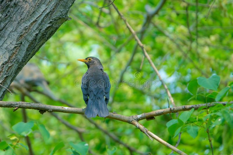 Eurasian Thrush. The close-up of a Eurasian Thrush stands on branch. Scientific name: Turdus merula stock photo