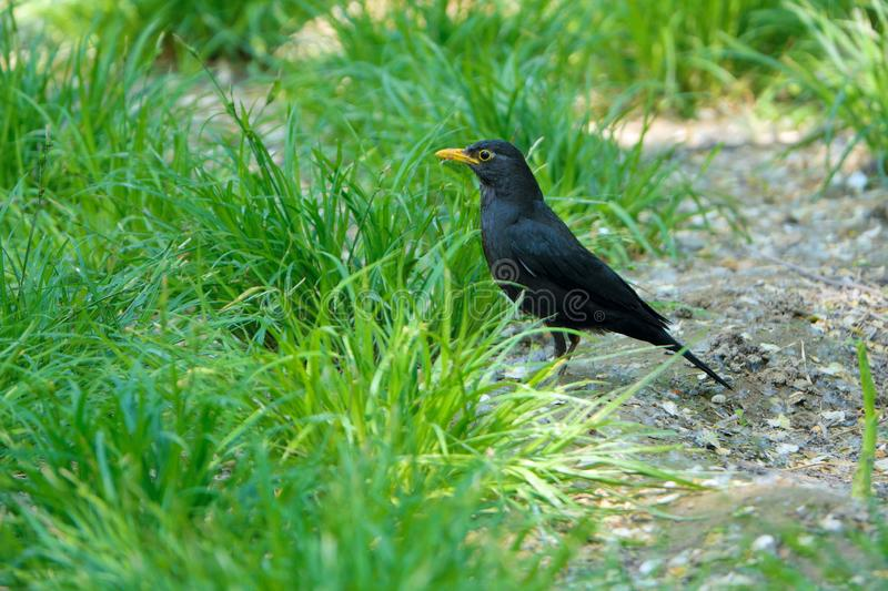 Eurasian Thrush. The close-up of a Eurasian Thrush stands on grassland. Scientific name: Turdus merula stock photos